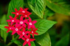 Medicinal plant ginseng Stock Image
