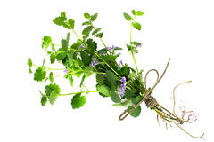 Medicinal plant Glechoma hederacea Royalty Free Stock Photography