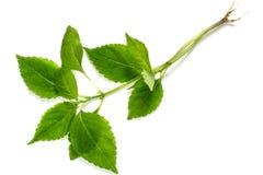 Medicinal plant  Goutweed (Aegopodium) Royalty Free Stock Image
