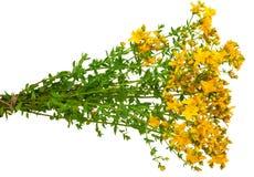 Medicinal plant: Hypericum perforatum. St. John's wort Stock Photography