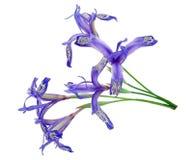 Medicinal plant: Iris uniflora stock photo