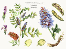 Medicinal plant Liquorice. Botanical watercolor illustration of a medicinal plant liquorice. Glycyrrhiza glabra L Royalty Free Stock Image