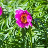 Medicinal plant Marin root or peony (lat. Paeonia anomala ) Royalty Free Stock Images