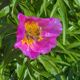 Medicinal plant Marin root or peony (lat. Paeonia anomala ) Royalty Free Stock Photo