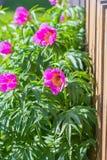 Medicinal plant Marin root or peony (lat. Paeonia anomala ) Stock Photo