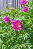 Medicinal plant Marin root or peony (lat. Paeonia anomala ) Stock Image