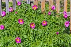 Medicinal plant Marin root or peony lat. Paeonia anomala Stock Images