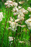 Medicinal plant Meadowsweet (lat. Filipendula hexapetala Gilib.) Stock Photo