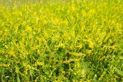 Medicinal plant: Melilotus officinalis Royalty Free Stock Photography