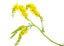 Medicinal plant: Melilotus officinalis Royalty Free Stock Images