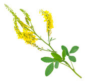 Medicinal plant: Melilotus officinalis. (Yellow Sweet Clower Royalty Free Stock Images