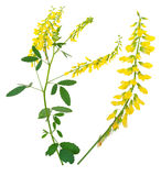 Medicinal plant: Melilotus officinalis (Yellow Sweet Clower) Stock Images