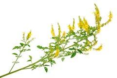 Medicinal plant: Melilotus officinalis (Yellow Sweet Clower) Royalty Free Stock Photos