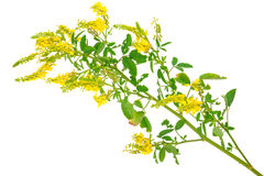 Medicinal plant: Melilotus officinalis (Yellow Sweet Clower) Stock Photography