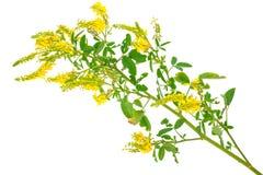 Medicinal plant: Melilotus officinalis (Yellow Sweet Clower) Stock Photography