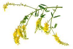 Medicinal plant: Melilotus officinalis (Yellow Sweet Clower) Royalty Free Stock Photography