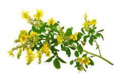 Medicinal plant: Melilotus officinalis (Yellow Sweet Clower) Stock Photo