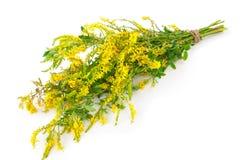 Medicinal plant: Melilotus officinalis (Yellow Sweet Clower) Royalty Free Stock Image