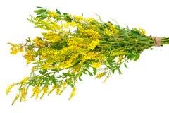 Medicinal plant: Melilotus officinalis (Yellow Sweet Clower) Stock Photos