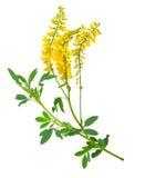 Medicinal plant: Melilotus officinalis Yellow Sweet Clower Stock Photos