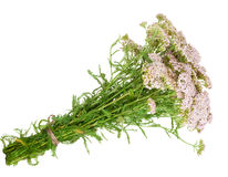 Medicinal plant. Milfoil Royalty Free Stock Photography