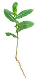 Medicinal plant. Milkweed Royalty Free Stock Photos