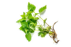 Medicinal plant nettle (Urtica dioica). On white background. It is used in food preparation and production of fabrics Royalty Free Stock Photo