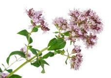 Medicinal plant: Origanum vulgare. On white background stock image
