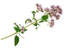 Medicinal plant: Origanum vulgare Stock Images