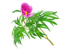 Medicinal plant: Paeonia anomala Stock Image