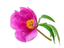 Medicinal plant: Paeonia anomala Royalty Free Stock Images