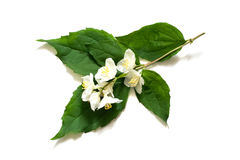 Medicinal plant  Philadelphus (Jasmine, Mock orange) Stock Images