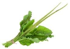 Medicinal plant. Plantain Stock Photo