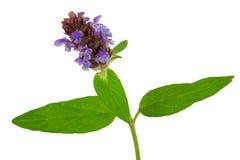 Medicinal plant: Prunella vulgaris. Self-Heal Stock Photos