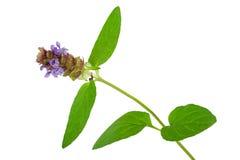Medicinal plant: Prunella vulgaris. Self-Heal Royalty Free Stock Photo