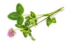 Medicinal plant Red clover (Trifolium pratense) Stock Images