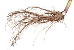 Medicinal plant. The root of elecampane royalty free stock photo