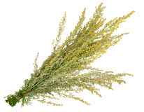 Medicinal plant. Sagebrush royalty free stock photo
