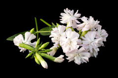 Medicinal plant Saponaria officinalis on black background Stock Photo