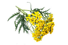 Medicinal plant tansy (Tanacetum vulgare) on a white background Royalty Free Stock Photo