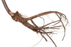 Free Medicinal Plant. The Root Of Elecampane Royalty Free Stock Image - 27060786
