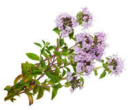 Medicinal plant: Thyme Stock Image