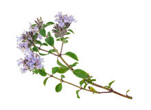 Medicinal plant: Thyme Stock Images