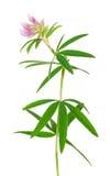 Medicinal plant: Trifolium alpestre Stock Images