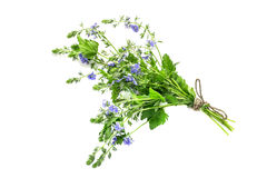 Medicinal plant Veronica Chamaedrys on a white background Royalty Free Stock Images