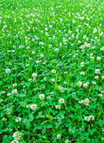 Medicinal plant, white clover field. Royalty Free Stock Images