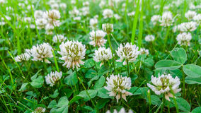 Medicinal plant, white clover field. Royalty Free Stock Photos