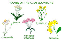 Medicinal plants of the Altai Mountains Stock Photography