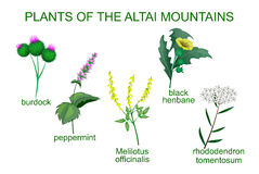 Medicinal plants of the Altai Mountains Stock Photo