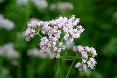 Flowering common Valerian Royalty Free Stock Image